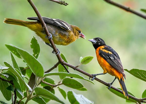 "<div class=""jaDesc""> <h4>Male Juvenile Baltimore Oriole Eating Grape Jelly - July 13, 2020</h4> <p>Notice faint orange patch on breast.</p> </div>"