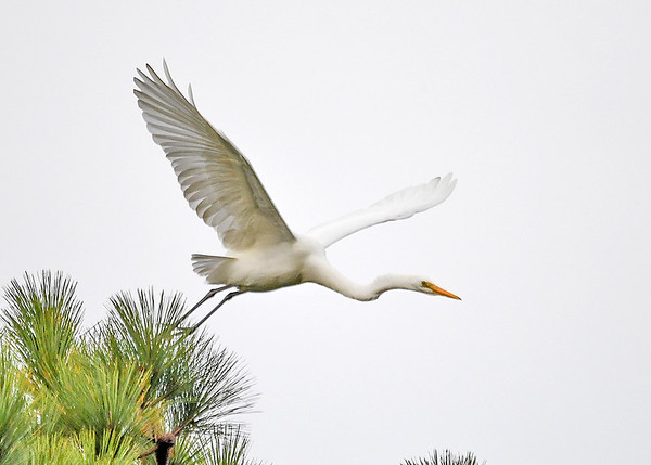 "<div class=""jaDesc""> <h4>Great Egret Leaning Down to Gain Speed - October 23, 2017</h4> <p></p> </div>"