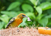 """<div class=""""jaDesc""""> <h4>Juvenile Male Baltimore Oriole with Phlox Blossom - August 23, 2019</h4> <p>This juvenile male plucked a blossom, then had not clue what to do with it.</p> </div>"""