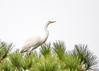 "<div class=""jaDesc""> <h4>First Great Egret in Pine Tree - October 23, 2017</h4> <p>A pair of Great Egrets were roosting in the top of a tall pine tree.  This one decided to move to another tree.</p> </div>"