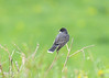 "<div class=""jaDesc""> <h4>Kingbird in Field - May 7, 2017</h4> <p>He landed briefly on a dead rose bush to scan for bugs.</p> </div>"