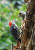 "<div class=""jaDesc""> <h4>Female Red-bellied Woodpecker with Youngster - September 10, 2019</h4> <p></p> </div>"