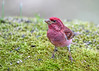 "<div class=""jaDesc""> <h4>Purple Finch - Front View - April 16, 2017</h4> <p>He was posing nicely for me in my bird portrait studio.</p></div>"