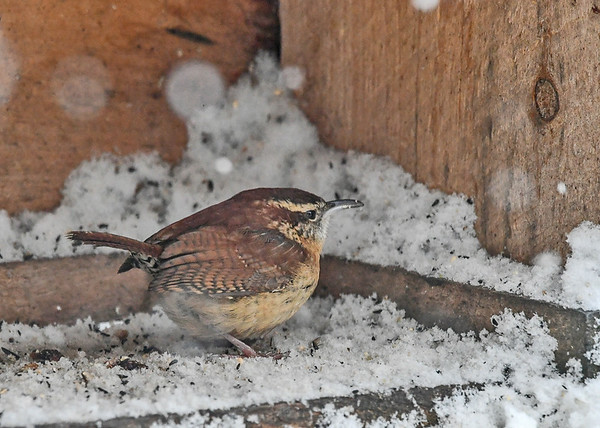 """<div class=""""jaDesc""""> <h4>Carolina Wren During Snow Storm -  December 16, 2020 </h4> <p>We've never had a Carolina Wren in our yard before.  This one showed up as our 40 inch snow storm was just starting.</p> </div>"""