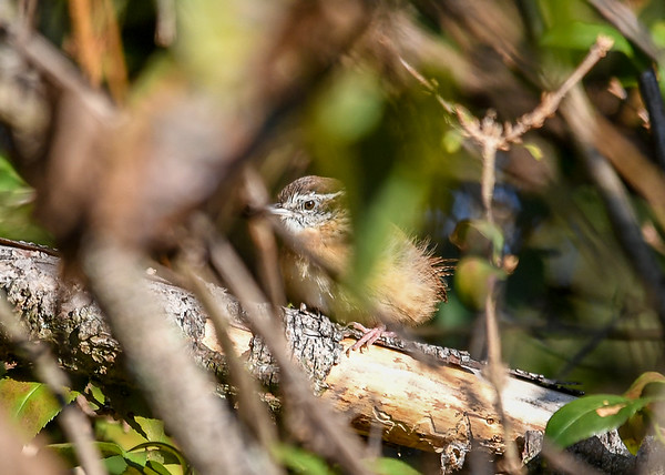 "<div class=""jaDesc""> <h4> Immature Carolina Wren Peek-a-Boo - September 20, 2019 </h4> <p></p> </div>"