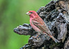 """<div class=""""jaDesc""""> <h4>Male Purple Finch - May 6, 2019</h4> <p>This male Purple Finch arrived last week.</p></div>"""