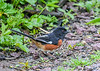 """<div class=""""jaDesc""""> <h4>Male Towhee Ground Feeding - May 14, 2019</h4> <p>Arrived about a week ago.</p></div>"""