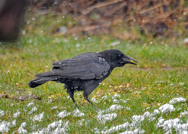 "<div class=""jaDesc""> <h4>Crow Eating Breakfast - April 7, 2017</h4> <p>Our 4 Crows have not been visiting much lately; they are focused on nesting.  With the blowing snow this morning, they joined us for a breakfast of corn kernels.</p>  </div>"
