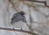 "<div class=""jaDesc""> <h4>Junco in Snow Storm - March 11, 2017</h4> <p>We have about 60 Junco regulars during the winter months.  They were all struggling to stay warm during this snowy high wind day.</p> </div>"