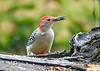 "<div class=""jaDesc""> <h4>Male Red-bellied Woodpecker Grabs Sunflower Seed - October 22, 2018</h4> <p></p> </div>"