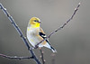 """<div class=""""jaDesc""""> <h4>Male Goldfinch Starting Breeding Plumage - February 26, 2019</h4> <p>Notice the yellow patches starting to pop out on his breast.</p></div>"""