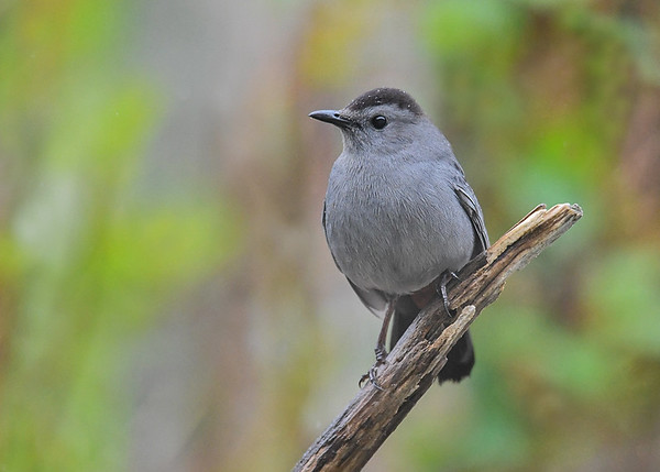 "<div class=""jaDesc""> <h4>Catbird Posing - May 7, 2017</h4> <p>The male Catbird (hint of red under tail) wanted me to get a shot of his best angle.</p> </div>"