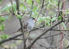 """<div class=""""jaDesc""""> <h4>White-Crowned Sparrow Perched in Viburnum Bush #2 - May 4, 2019</h4> <p></p></div>"""