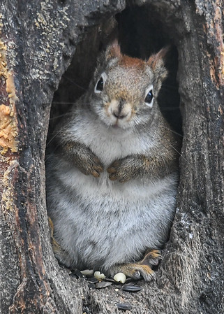 """<div class=""""jaDesc""""> <h4>Red Squirrel - Two paws tucked, ears back - January 7, 2019 </h4> </div>"""