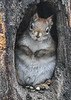 "<div class=""jaDesc""> <h4>Red Squirrel - Two paws tucked, ears back - January 7, 2019 </h4> </div>"