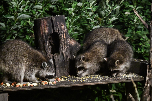 "<div class=""jaDesc""> <h4>Raccoon Family Dining - August 30, 2017</h4> <p>Mother Raccoon is on the left; three youngster on the right are growing fast.  Mom gets first dibs at the apple chunks.</p> </div>"