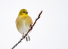 "<div class=""jaDesc""> <h4>Female Goldfinch on Icy Branch - January 24, 2017</h4> <p>This is one of the brighter female Goldfinches perched on an icy cherry tree branch.  This tree would have a dozen Goldfinches spread around on its icy branches before they moved down to the feeders.</p></div>"