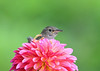 """<div class=""""jaDesc""""> <h4>Wren Behind Dahlia - June 23, 2018</h4> <p>Had to spruce the box up with a bit of color.</p> </div>"""