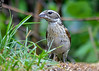 """<div class=""""jaDesc""""> <h4>Young Female Rose-Breasted Grosbeak Eating Seed - June 27 2018</h4> <p>It is amazing how quickly the young birds learn to feed themselves. </p> </div>"""