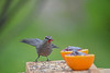 "<div class=""jaDesc""> <h4>Catbird Gobbling Grape Jelly - May 4, 2019</h4> <p></p></div>"