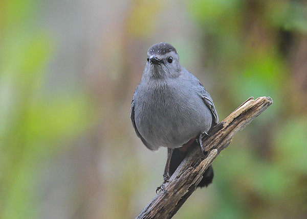 """<div class=""""jaDesc""""> <h4>Curious Catbird - May 7, 2017</h4> <p>Our Catbird pair have settled in and are getting very friendly.  They both greet me with friendly chatter every morning when I put out a fresh orange with grape jelly.</p> </div>"""