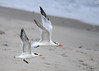 "<div class=""jaDesc""> <h4>Immature Royal Terns Airborne - October 23, 2017 </h4> <p>Their wings are very long for their body weight so they can float on the ocean breeze with ease.  Chincoteague National Wildlife Preserve</p> </div>"