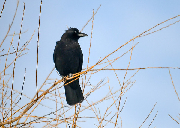 "<div class=""jaDesc""> <h4>Sentinel Crow Looking to His Left - February 24 2020</h4> <p>One of the Crow family of 4 is always in the top of our willow tree looking out for any predator hawks while the others dine on the ground.  The sentinel crow will sound a loud alarm call that alerts all the birds in the area to take cover.</p>  </div>"