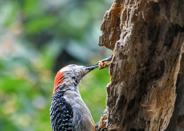 """<div class=""""jaDesc""""> <h4>Female Red-bellied Woodpecker Feeding Suet to Youngster - September 10, 2019</h4> <p></p> </div>"""