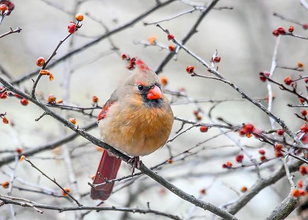 "<div class=""jaDesc""> <h4>Immature Female Cardinal in Winterberry Bush - January 7, 2019</h4> <p></p> </div>"