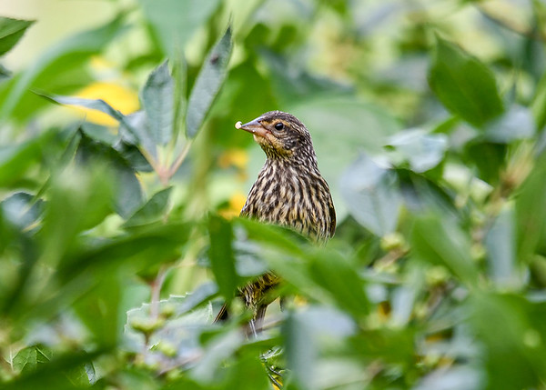 "<div class=""jaDesc""> <h4>Female Red-winged Blackbird Finds Millet Seed - August 7, 2017</h4> <p>Now that all the Red-winged Blackbird youngsters are fending for themselves, the adult females are hanging out in our backyard sunflower patch most of the day. </p></div>"