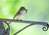 """<div class=""""jaDesc""""> <h4>Female Phoebe with Moth - June 1, 2017</h4> <p>At least one of the eggs has hatched.  Mother Phoebe arrives with a moth for the morning meal.</p> </div>"""