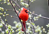 """<div class=""""jaDesc""""> <h4>Male Cardinal Side View - May 4, 2020</h4> <p></p> </div>"""