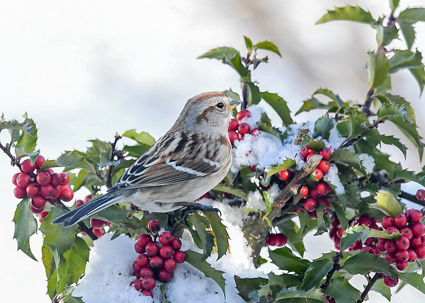 """<div class=""""jaDesc""""> <h4>Tree Sparrow in Snowy Holly Bush - January 30, 2021</h4> <p>Getting a few inches of snow every day.  I toss seed in the snow clumps on the holly bushes to attract the Tree Sparrows.</p> </div>"""