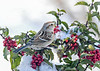 "<div class=""jaDesc""> <h4>Tree Sparrow in Snowy Holly Bush - January 30, 2021</h4> <p>Getting a few inches of snow every day.  I toss seed in the snow clumps on the holly bushes to attract the Tree Sparrows.</p> </div>"