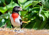 """<div class=""""jaDesc""""> <h4>Male Rose-Breasted Grosbeak Eating Seed - June 27 2018</h4> <p>Our male Rose-breasted Grosbeak is cracking the shell off of a black-oiled sunflower seed.  He has been modeling the technique for his recently arrived daughter.</p> </div>"""