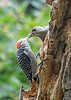 "<div class=""jaDesc""> <h4>Female Red-bellied Woodpecker Feeding Suet - September 10, 2019</h4> <p></p> </div>"