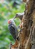 "<div class=""jaDesc""> <h4>Female Red-bellied Woodpecker Feeding Suet - September 10, 2019</h4> <p></p> </div>"