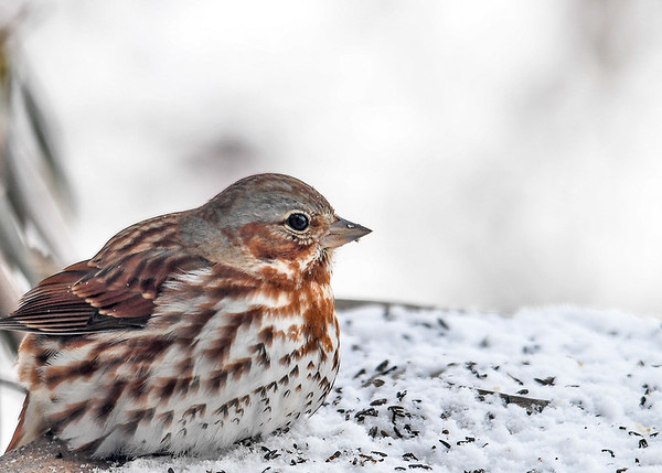 """<div class=""""jaDesc""""> <h4>Fox Sparrow Resting - March 11, 2017</h4> <p>This Fox Sparrow was taking a break from eating during a snow storm.  I love the unique plumage on these sparrows! </p> </div>"""