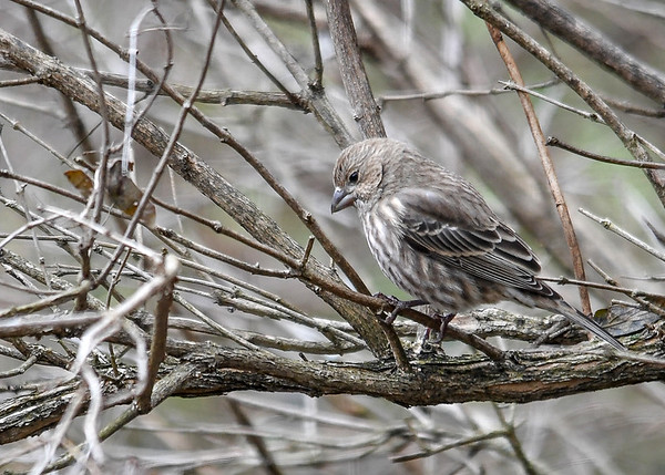 "<div class=""jaDesc""> <h4>Female House Finch in Honeysuckle Bush - November 19, 2017 </h4> <p>This female House Finch blends in perfectly with the bark of our honeysuckle bushes.  She stayed in the bush until she had time to scope out the safety of ground feeding with the male.</p> </div>"