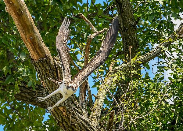 "<div class=""jaDesc""> <h4>Juvenile Osprey Heading for a Light Pole - August 8, 2019 </h4> <p>He decided to steer toward a nearby light pole.</p> </div>"