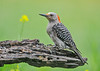 """<div class=""""jaDesc""""> <h4>Juvenile Red-bellied Woodpecker Getting Seed - July 17, 2018</h4> <p>This is where she is picking out her seeds before flying to a tree to eat them.</p> </div>"""