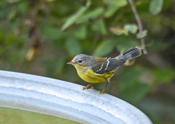 """<div class=""""jaDesc""""> <h4> Female Magnolia Warbler at Bird Bath - September 14, 2019 </h4> <p>A female Magnolia Warbler stopped in our backyard on her way south.</p></div>"""