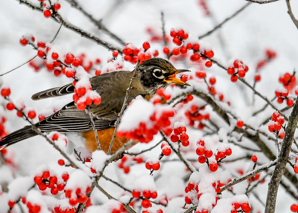 "<div class=""jaDesc""> <h4>Robins Balances Winterberry on Lower Beak - November 8, 2019</h4> <p></p> </div>"