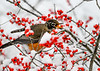 "<div class=""jaDesc""> <h4>Robins Balances Winterberry on Lower Beak - November 8, 2019</h4> <p></p> </div>"