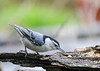 "<div class=""jaDesc""> <h4>White-breasted Nuthatch with Millet Seed - May 15, 2020 </h4> <p></p> </div>"