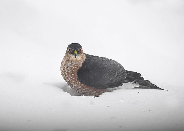 "<div class=""jaDesc""> <h4>Sharp-shinned Hawk Looking at Me - March 15, 2017</h4> <p>She knew I was photographing her and looked at me several times.</p> </div>"