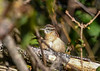 "<div class=""jaDesc""> <h4> Immature Carolina Wren Side View - September 20, 2019 </h4> <p></p> </div>"