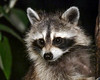 "<div class=""jaDesc""> <h4> Mama Raccoon in for Late Evening Snack - July 8, 2017</h4> <p> Mama Raccoon stopped in last night just as we were getting ready to go to bed.  She cleaned up all the bird seed and scraped out both orange halves.  She should be weaning her youngsters soon, then they will start coming in with her.  Looking forward to that.</p> </div>"