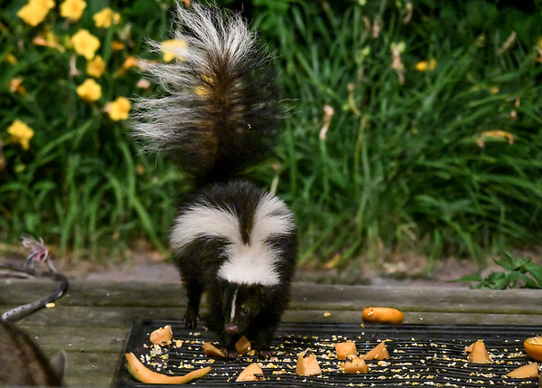 """<div class=""""jaDesc""""> <h4>Skunk Owns Food Tray - July 10, 2017</h4> <p>Fortunately, the Raccoon took the warning seriously and moved away.</p> </div>"""