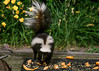 "<div class=""jaDesc""> <h4>Skunk Owns Food Tray - July 10, 2017</h4> <p>Fortunately, the Raccoon took the warning seriously and moved away.</p> </div>"
